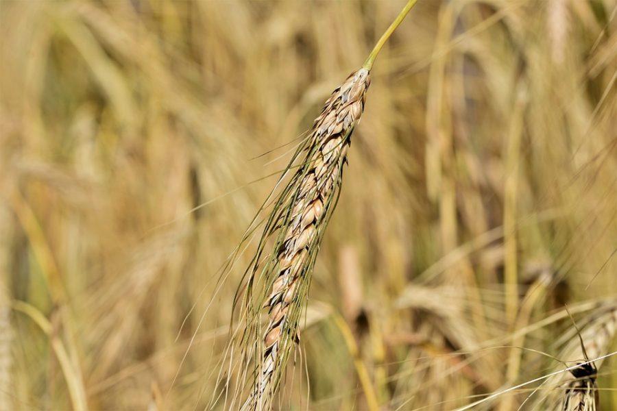 Le campagne lombarde, tessera chiave del mosaico agrario europeo.